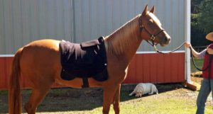 All New: Back Pad Electrode for Horses
