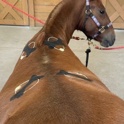 Four PEMF Rings applied to horse's back.